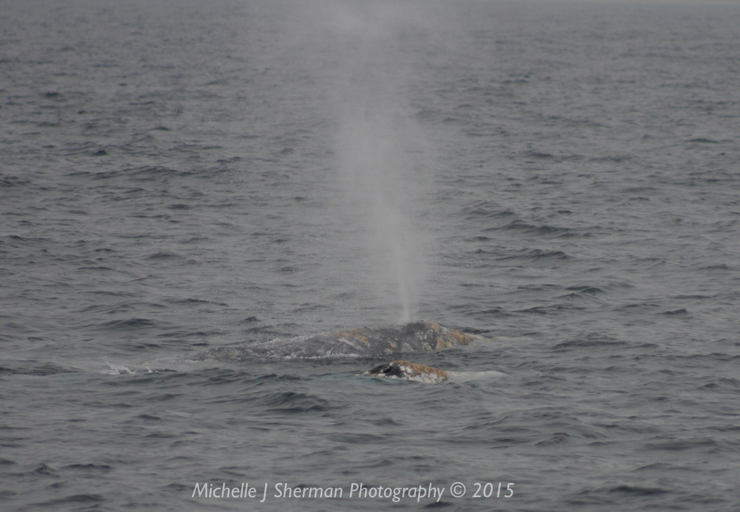 "Mich's Monday Mantra ""Gray Whale Playtime"""