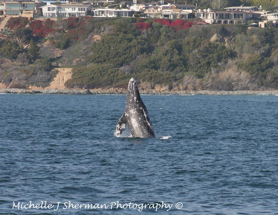 """Gray Whale Playtime"" Mich's Monday Mantra"